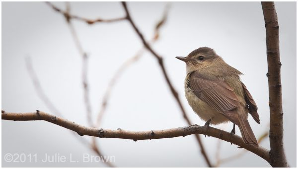 warbling vireo golden gate canyon state park
