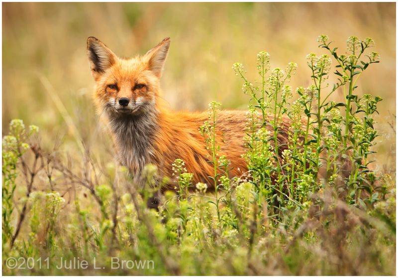 red fox at roxborough state park colorado