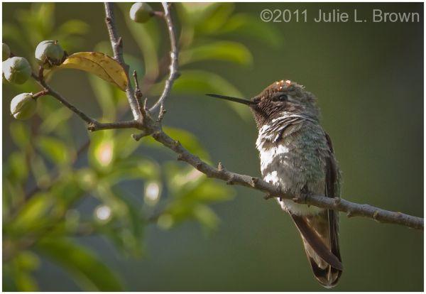 anna's hummingbird california