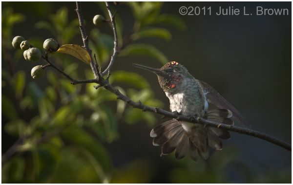 male anna hummingbird california