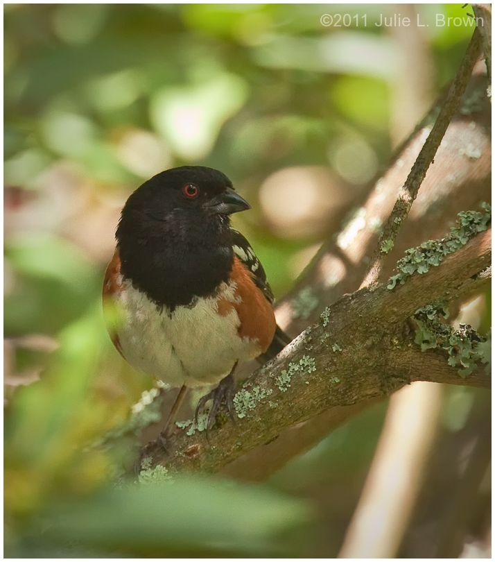 spotted towhee UC botanical gardens
