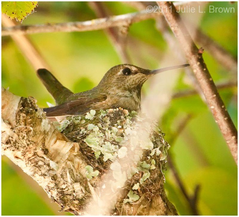anna's hummingbird female on nest california
