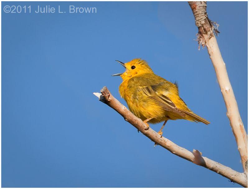 male yellow warbler singing mono lake county park
