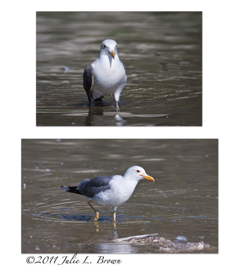 california gull mono lake california