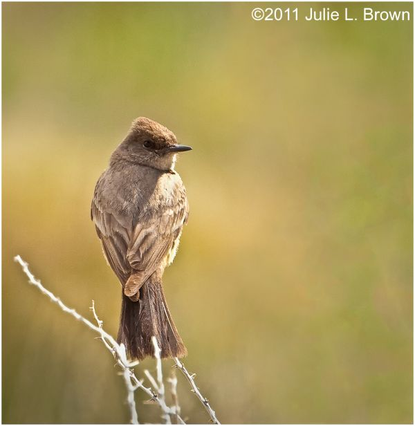 say's phoebe south tufa state reserve mono lake