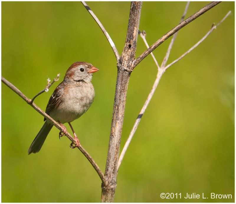 adult field sparrow in tree at fort harrison SP