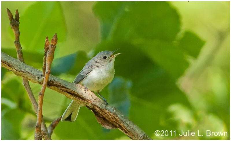 blue gray gnatcatcher singing at fort harrison SP