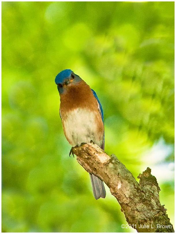 eastern bluebird tilting head fort harrison SP