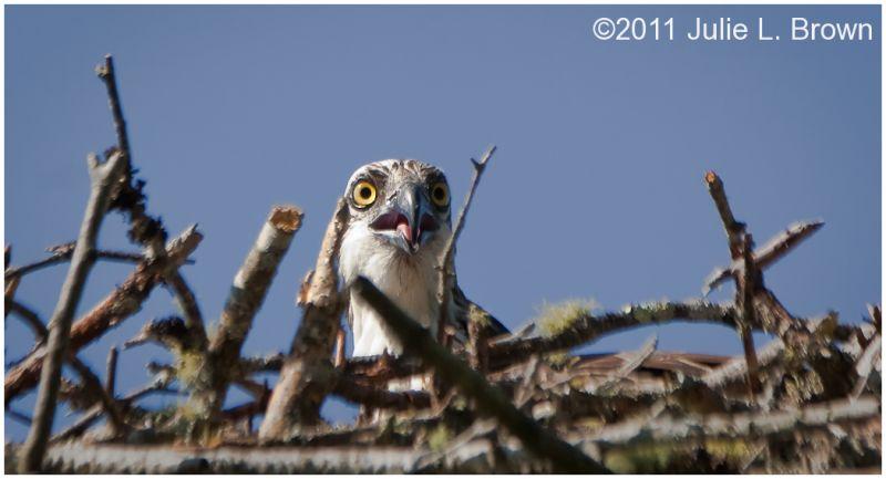 osprey in nest at hog island
