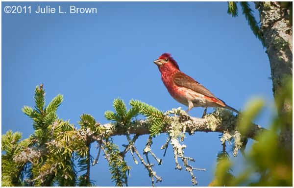 male purple finch in tree hog island audubon camp