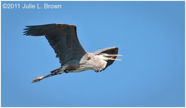 great blue heron flying with tongue out maine