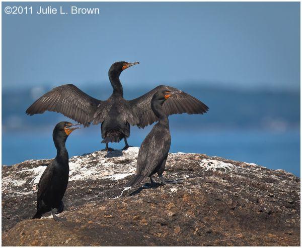 three cormorants on eastern egg rock maine