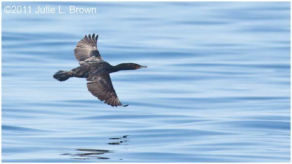 cormorant in flight muscongus bay maine