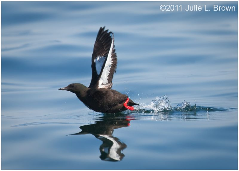black guillemot water takeoff muscongus bay maine