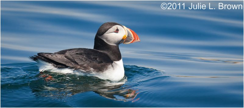 atlantic puffin in muscongus bay maine