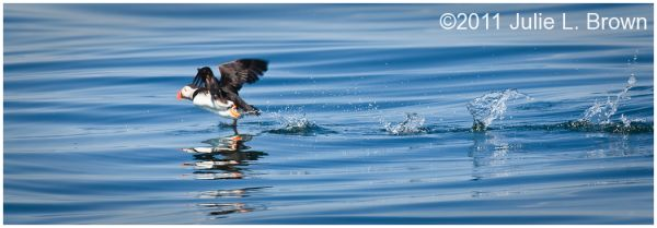 atlantic puffin in flight on muscongus bay maine