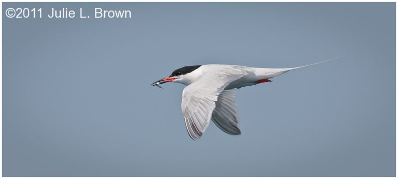 common tern flying with fish in bill muscongus bay