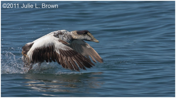 common eider duck male take off from water
