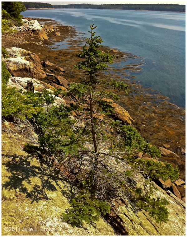 tree growing in rock on hog island maine