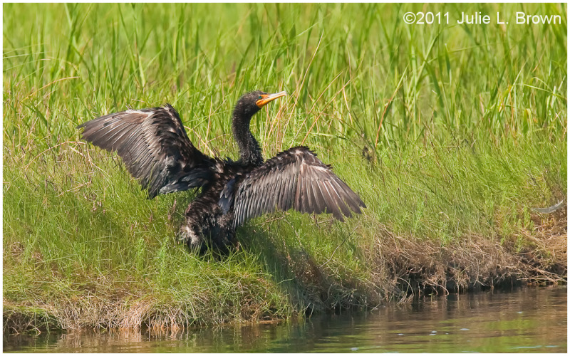 double crested cormorant drying wings in the sun