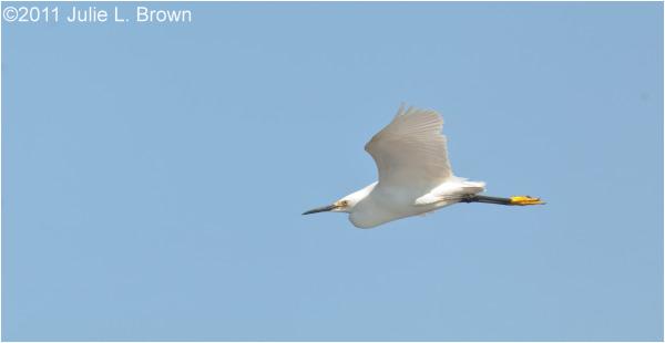 snowy egret scarborough marsh maine