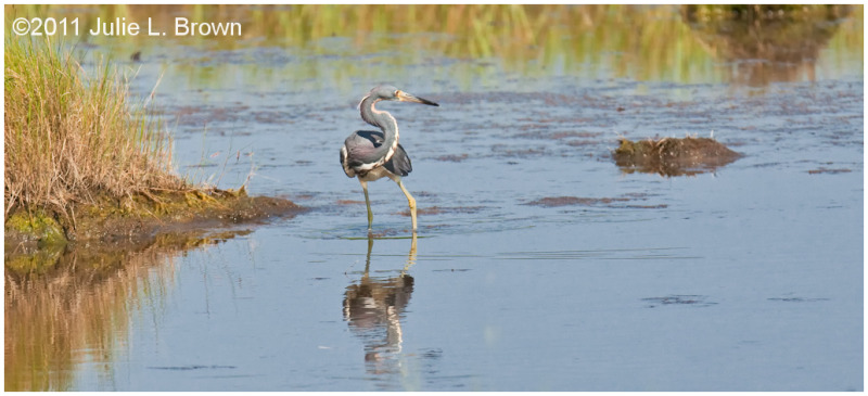 tri colored heron scarborough marsh maine