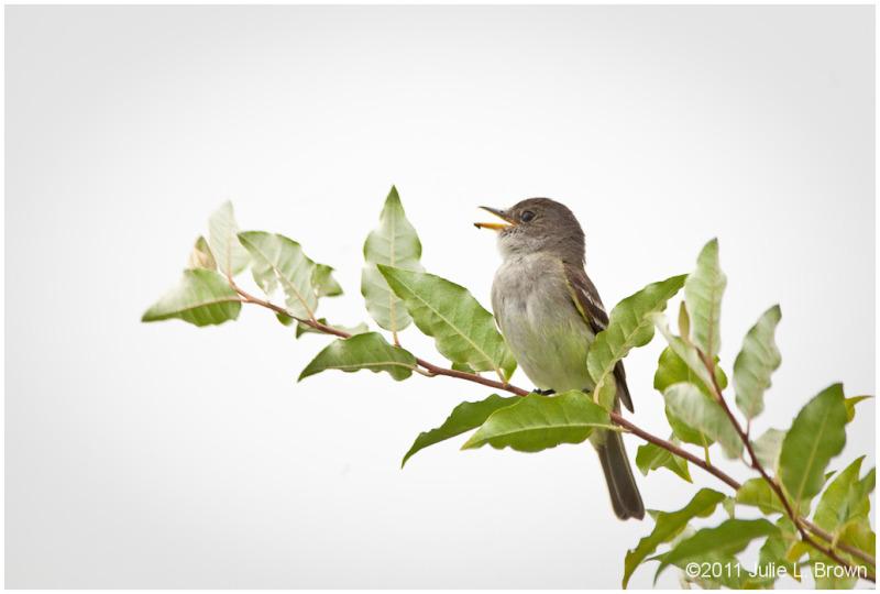 singing empidonaxflycatcher