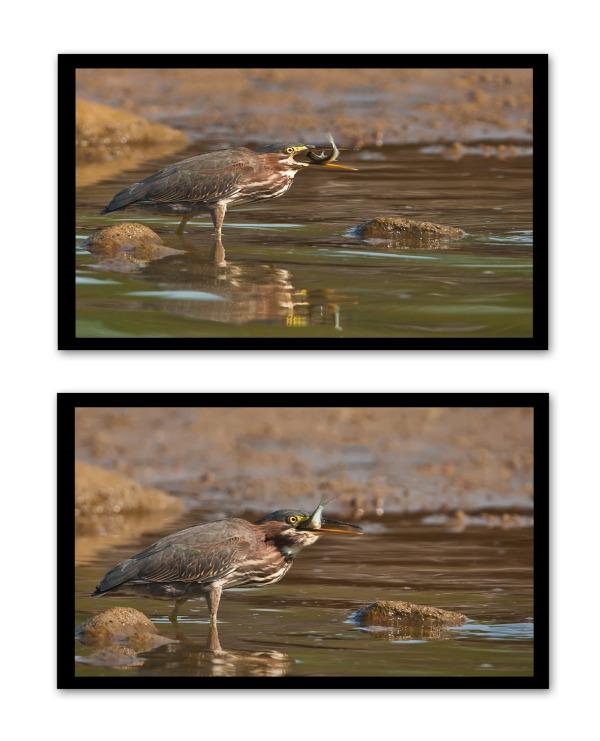 green heron eagle creek park indianapolis
