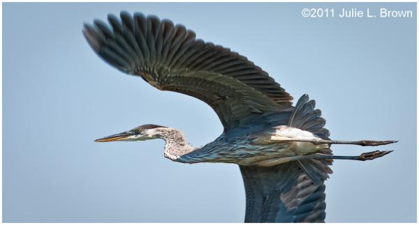 great blue heron in flight eagle creek park