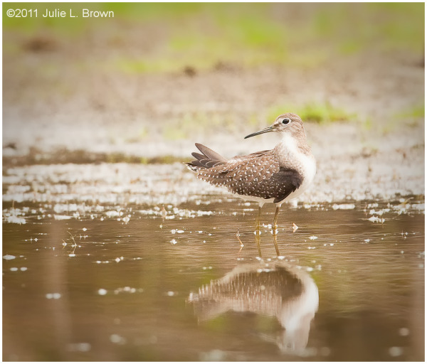 solitary sandpiper on mudflat eagle creek park