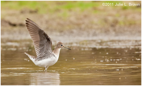 solitary sandpiper wings up eagle creek park