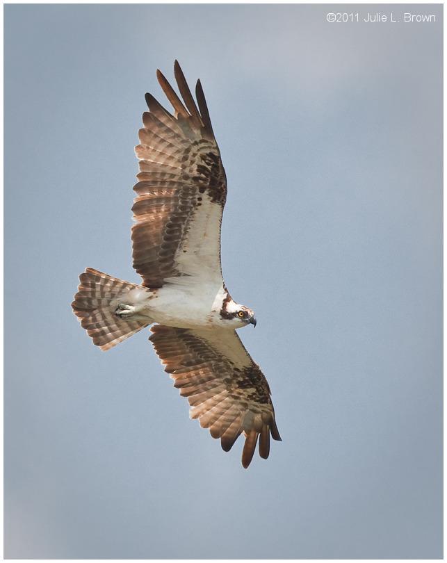 osprey in flight eagle creek park