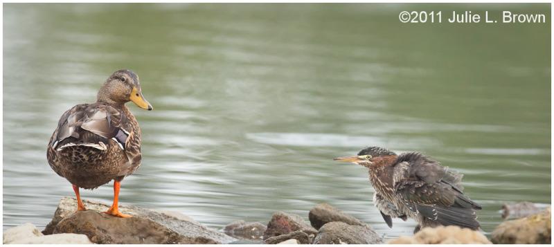 mallard hen and green heron eagle creek park