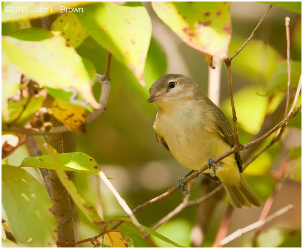 warbling vireo eagle creek park indianapolis