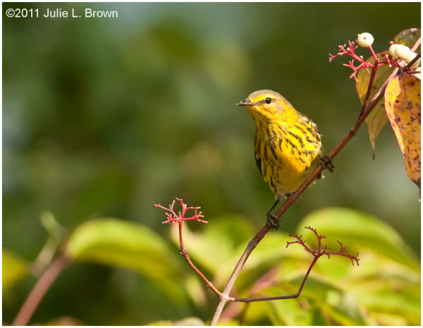 cape may warbler eagle creek park indianapolis