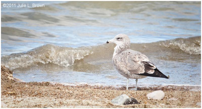 California gull glaucus californicus immature animal for California chiude l utah