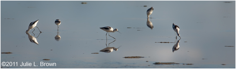 american avocets foraging in late afternoon light