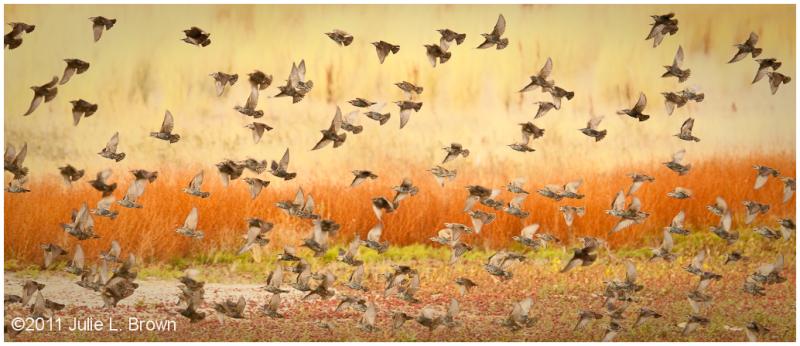 starlings in flight over marsh farmington bay WMA