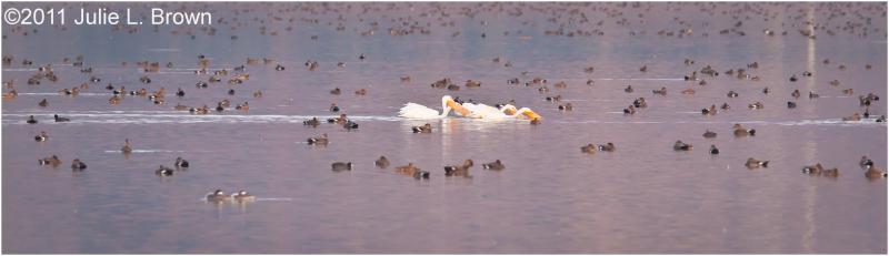american white pelicans farmington bay WMA utah