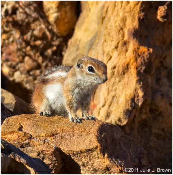 white-tailed antelope squirrel arches NP