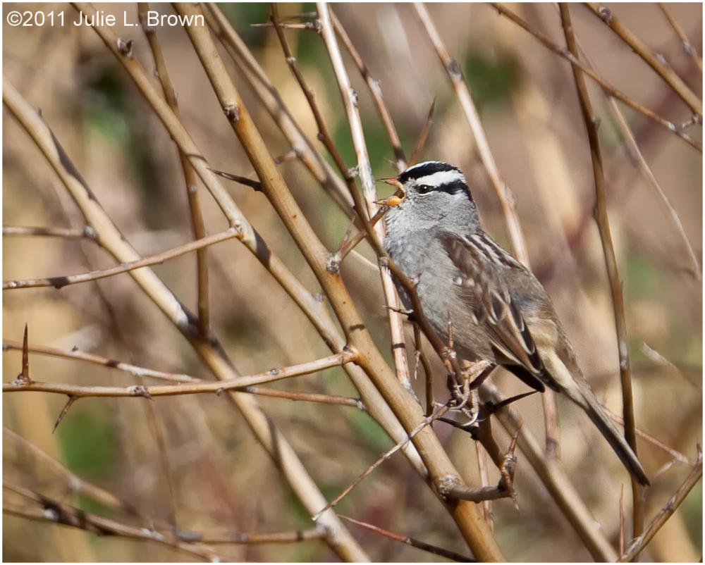 white-crowned sparrow singing matheson preserve