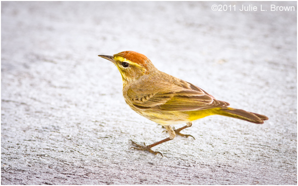 palm warbler shark valley everglades national park