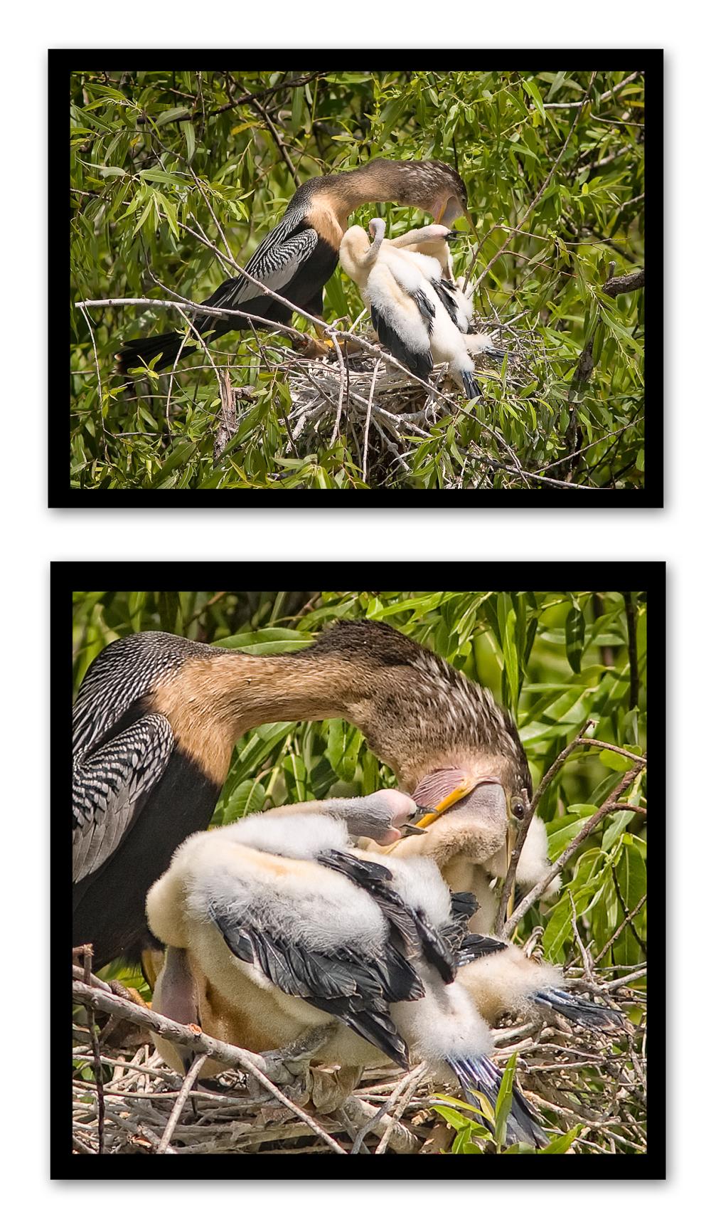 anhinga feeding chicks nest shark valley everglade