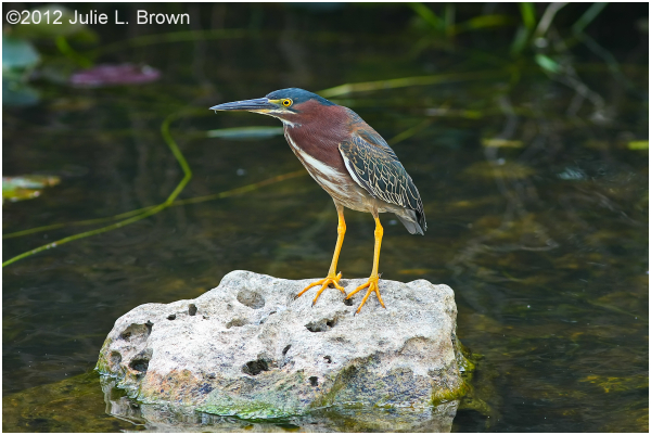 green heron shark valley everglades florida