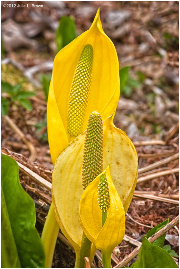 western skunk cabbage trio olympic national park