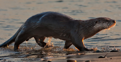 River otter (Lontra Canadensis), at sunrise