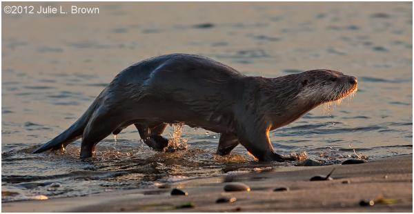 river otter fort worsen state park puget sound