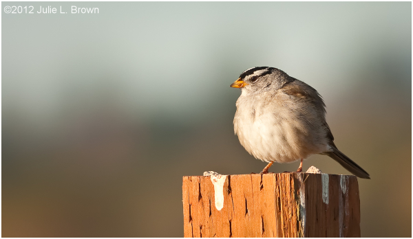 white-crowned sparrow fort worden state park