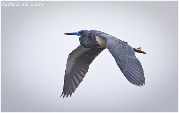 little blue heron adult in flight panama city flor
