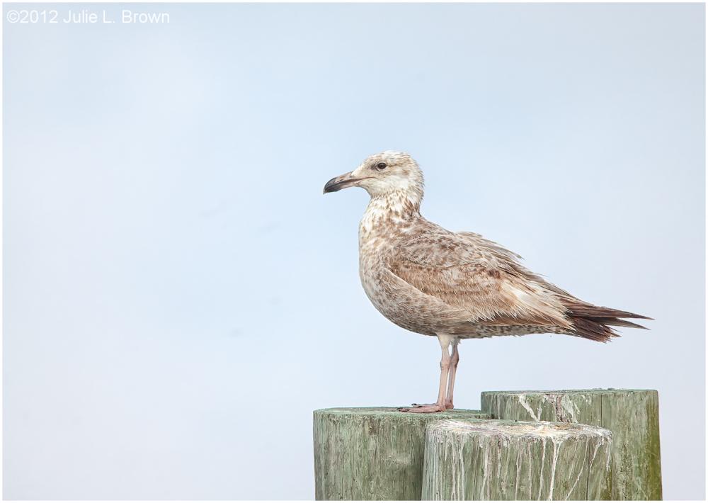 herring gull 1st summer panama city florida